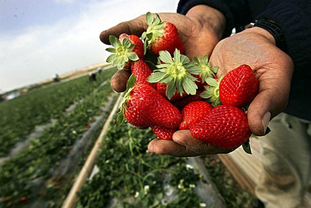 Celebrate Strawberries in South Berwick