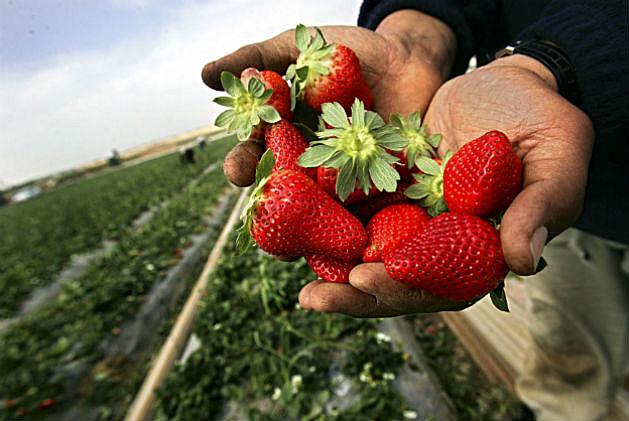 Celebrate Strawberries in South Berwick