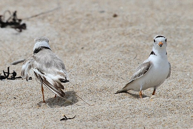 Caution beachgoers piping plovers ahead for Nh fish game